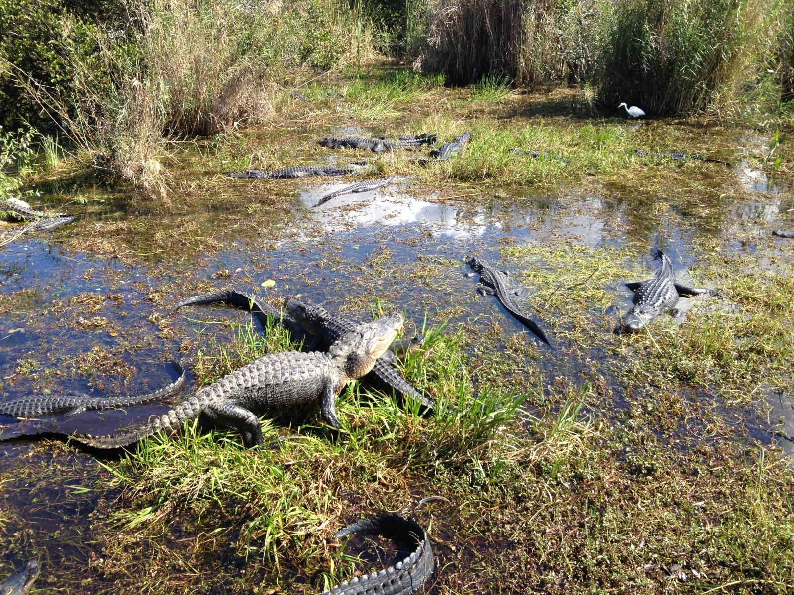 Alligatori nell' Everglades National Park nei pressi di Miami