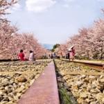Hanami, la festività della fioritura dei Ciliegi